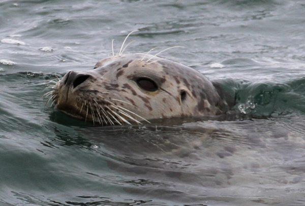 Harbor seal by Tony Hisgett